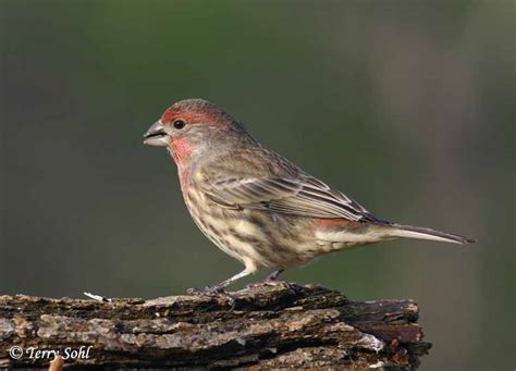 house finches identification keys and tips house finch vs purple finch