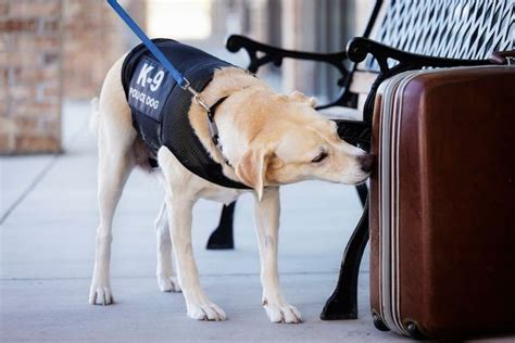 can dogs smell lsd sniffer flies could be coming to an airport near you mirror