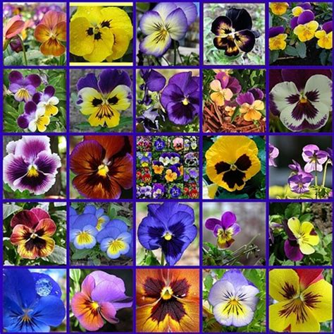 pansy colors 203 best images about pansy jumping more pansy on
