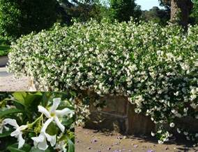 Trellis Climbing Plants - star jasmine start jasmine for sale online in australia evergreen growers