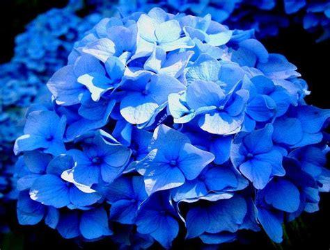 imagenes flores hortensias como controlar y cambiar el color de las hortensias