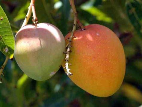 mango tree with fruits trees planet mangifera indica mango tree