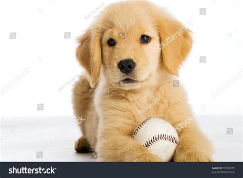 show me pictures of baby golden retrievers golden retriever puppy baseball stock photo 79692289