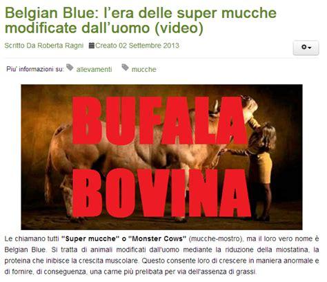 animal instinct testo belgian blue la non bufala delle mucche quot mostro