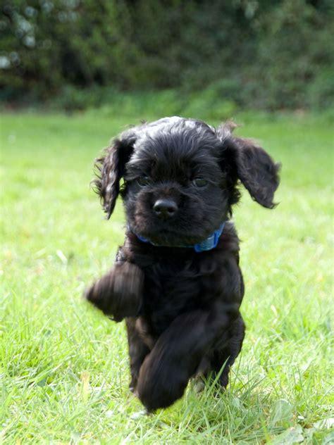 6 all black American Cocker Spaniel Puppies   Swanley ...