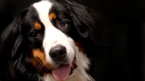 golden retriever bald spot summer grooming tips to shave or not to shave iheartdogs