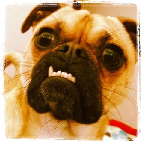 pug teeth problems pugs like to show their teeth animals