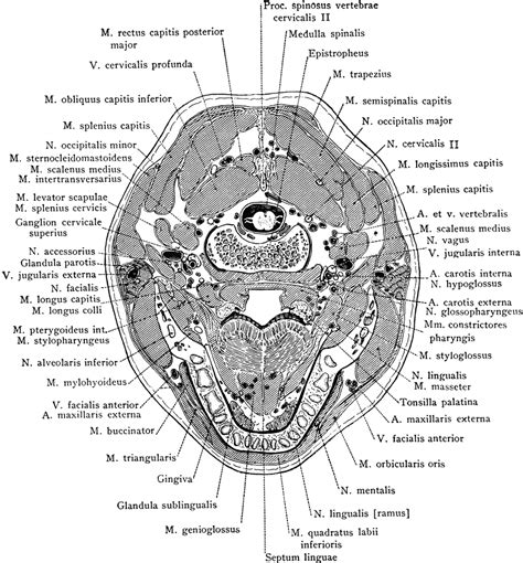 cross section of head cross section of head through the body of the mandible