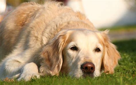signs of lyme disease in dogs lyme disease in dogs archives canna pet 174