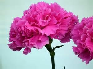 Carnations hot pink carnation flower 171 wallpaper tadka
