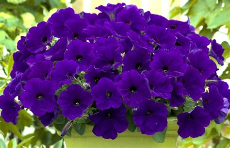 petunias 6 unique varieties to plant in your garden