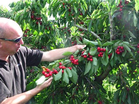 cherry tree not producing fruit are you thinking of planting a fruit tree in your property