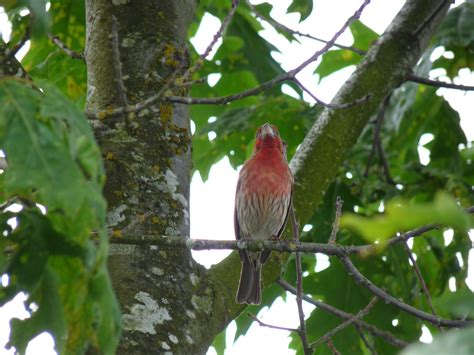 house finch singing what is it about birds bird canada