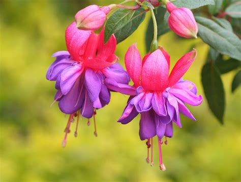 flowers photos fuchsia magellanica flowers photo 724724 fanpop