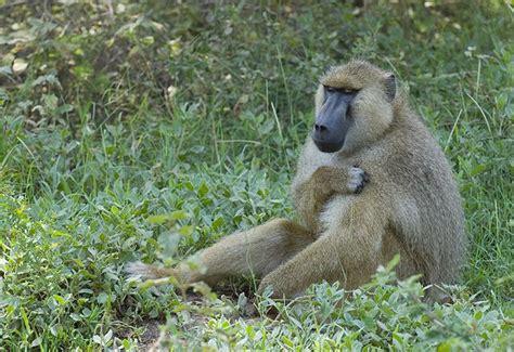 fileyellow baboon amboseli national park kenyajpg wikipedia