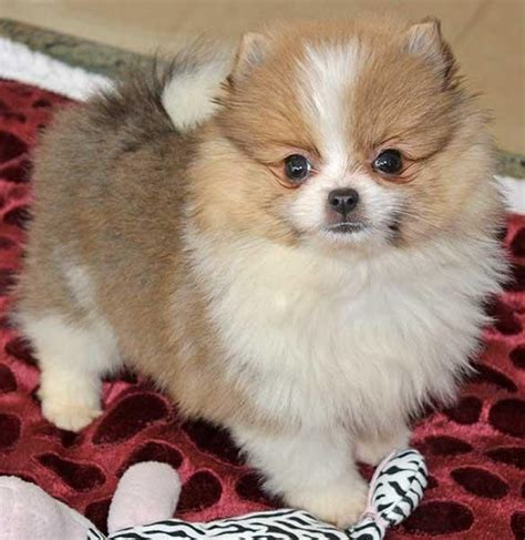 micro teacup pomeranian price amazing micro teacup pomeranian puppy best price pynprice