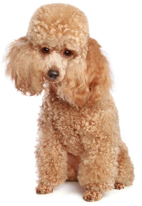 mini poodle information poodle information facts pictures and grooming