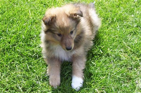 sheltie puppies colorado sheltie puppies whitland carmarthenshire pets4homes