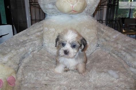 mini havanese puppies meet indy a havanese puppy for sale for 700 micro mini outgoing