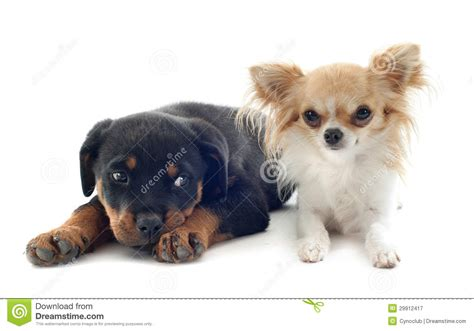rottweiler chihuahua puppies chihuahua and puppy rottweiler royalty free stock photography image 29912417