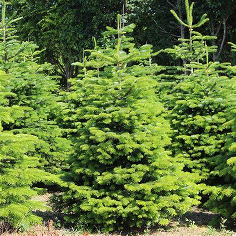 weihnachtsbaum nordmanntanne ca 150 cm tannenladen