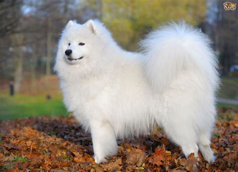 samoyed breed some more information about the samoyed breed pets4homes