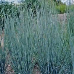 nebraska state grass little bluestem schizachyrium