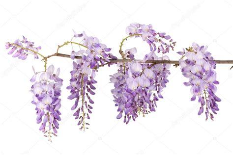 foto glicine in fiore ramo di glicine foto stock 169 smithore 13377049