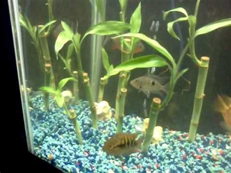 bamboo plants   fish tank youtube