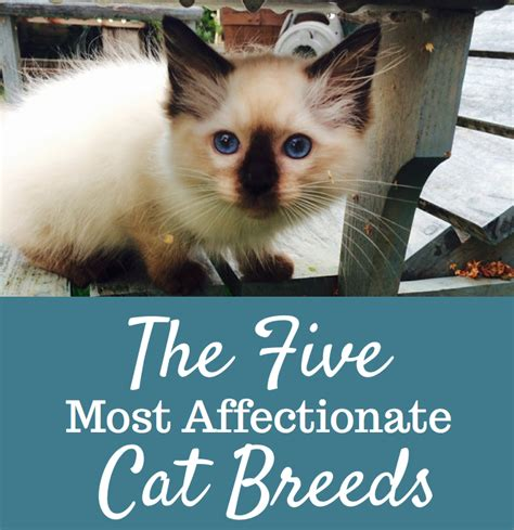 affectionate breeds the 5 most affectionate cat breeds cats and meows