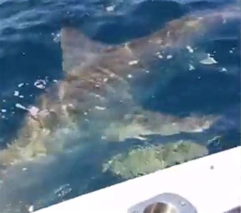 great white attacks fishing boat great white shark attacks fishing boat in adelaide