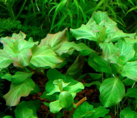 images of plants plants ludwigia thumb page