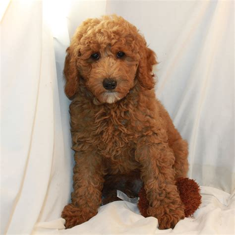 red toy red toy poodle www imgkid com the image kid has it