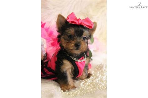 newborn teacup yorkie pin terrier teacup baby on