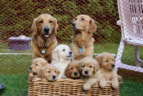 is a golden retriever a family golden family dogs and amimals