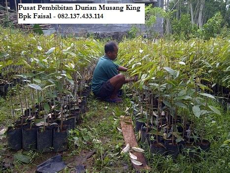 Exclusive Bibit Durian Montong Jumbo Terjamin jual bibit durian musang king bibit durian musang king