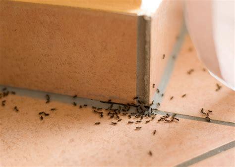 die  besten tipps gegen ameisen im haus heimhelden