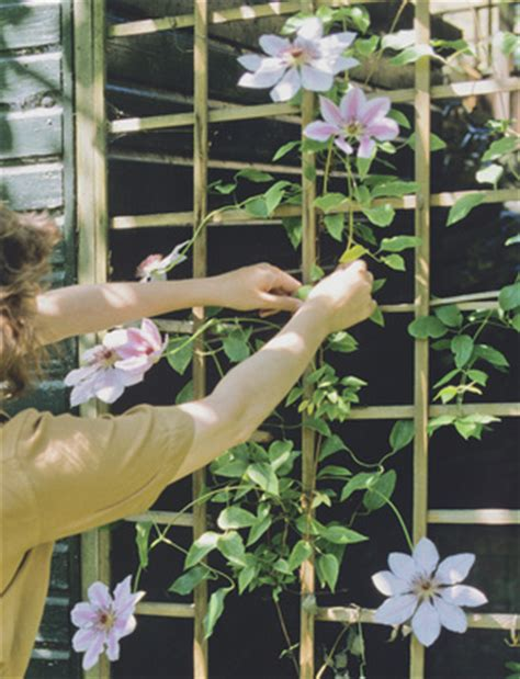 climbing plants for shade in pots vines for container gardens