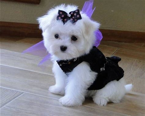 puppy with bow i will this maltese one day even with a bow in hair pictures of