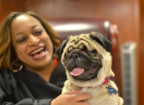 blindness in pugs this judge and blind rescue pug are practically inseparable huffpost