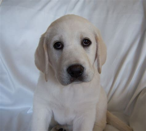 raising a lab puppy white labrador retriever and white labrador retrievers puppies snow white