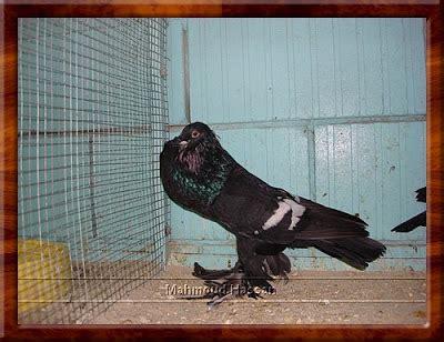 owl ls for sale pigeons for sale saxon pouter