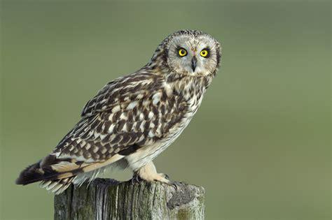 owls galleries bird pictures