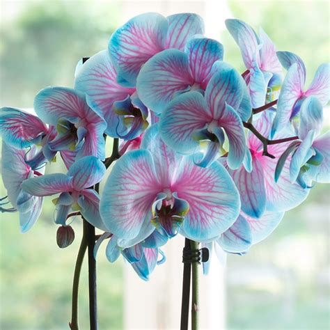 blue orchid blue orchid plant
