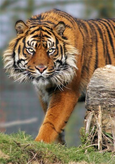 17 best ideas about species of tigers on pinterest tiger