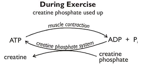 creatine during workout creatine phosphate during exercise aqa a2 biology unit