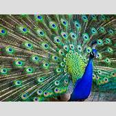 Peacock Spirit ...