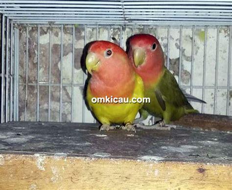 Jual Pakan Burung Di Surabaya tj bf surabaya hanya jual anakan lovebird saat butuh uang