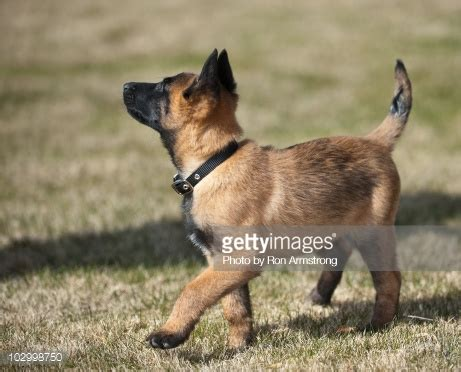 belgian malinois puppies for sale in nc belgian malinois puppies for sale in nc images