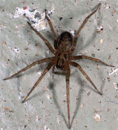 grote zwarte vliegen in huis husedderkopp wikipedia